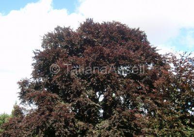 Дерево на территории школы