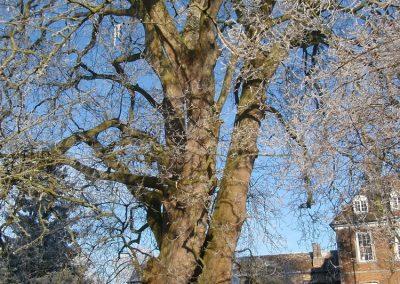 Одно из самых старых деревьев Европы в школьном дворе